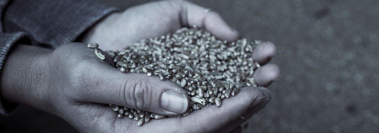 Weizen aus der regionalen bio-dynamischen Landwirtschaft für die Backwerke des Bäckermeisters