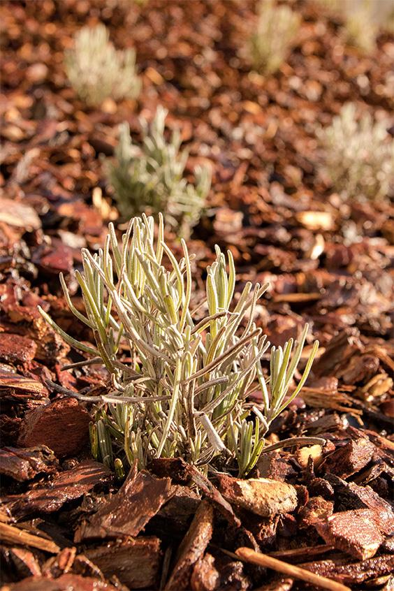 """Winterliche Anpflanzungen am """"Kräuterberg'l"""" – Lavendel """"Dwarf Blue"""""""