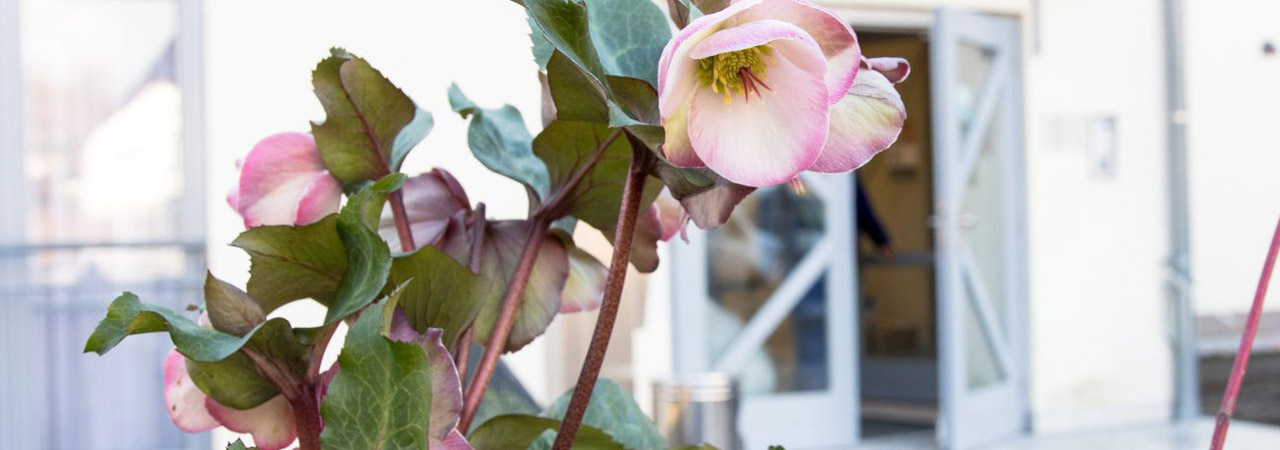 Der Stolz der Kräuterfee – roséfarbene Christrose vor dem Haupteingang