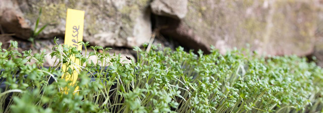 Wächst als eines der ersten Kräuter im Frühling: die Kresse