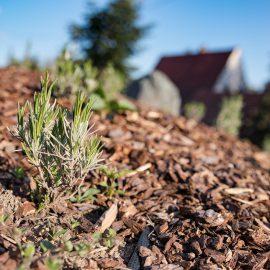 Erste Triebe an den Lavendelpflanzungen des Landhotels