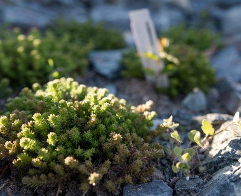 Sedum - oder auch Fetthenne - sorgt für etwas alpines Flair am Kräuterberg'l