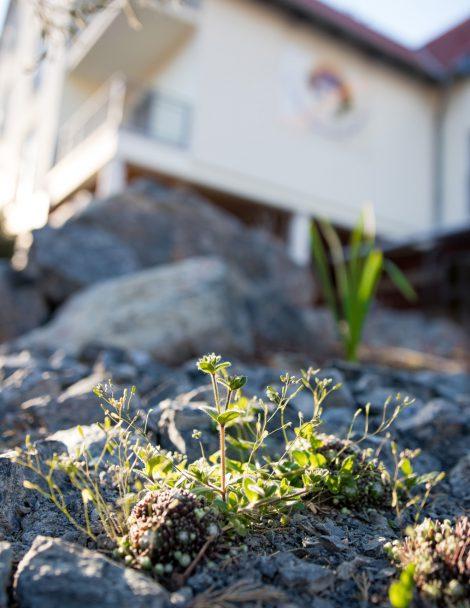 Sempervivum, ein Steinkraut, schmückt die Außenanlagen des Landhotels