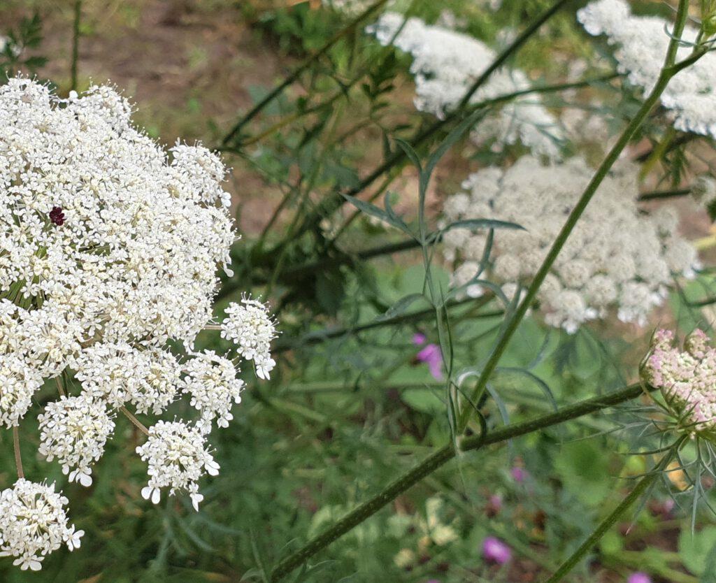 Schafgarbe in unserem Kräutergarten